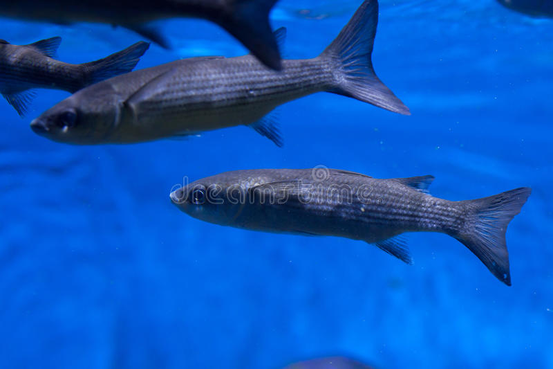Download Labrosus Chelon серой кефали Thicklip Стоковое Изображение - изображение насчитывающей океан, жизнь: 81810475