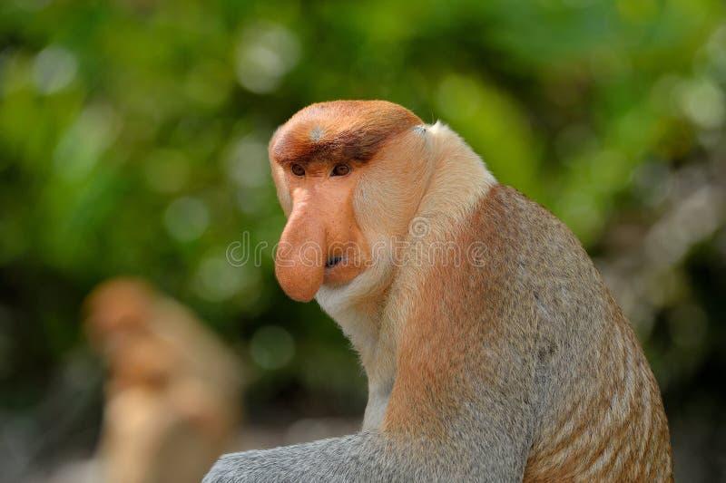 Labuk Bay Proboscis Monkey Sanctuary stock afbeelding