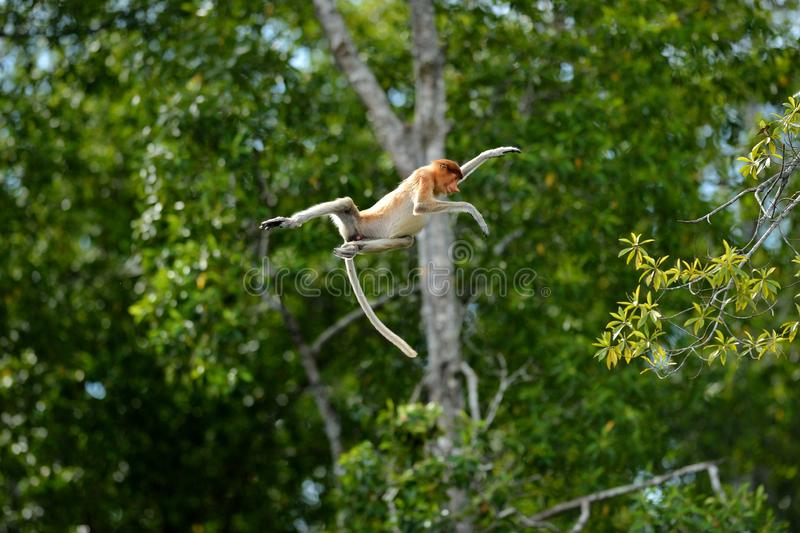 Labuk Bay Proboscis Monkey Sanctuary royalty-vrije stock afbeeldingen