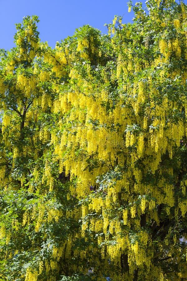 laburno amarelo típico fotografia de stock royalty free