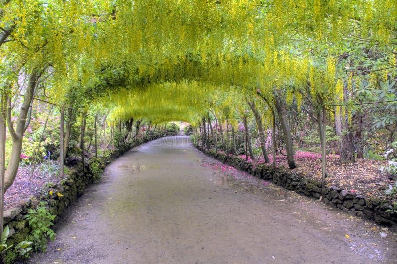 Laburnum Arch in full bloom royalty free stock photo