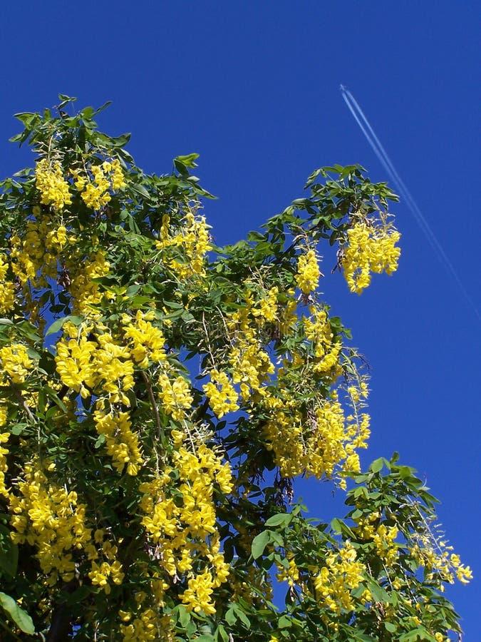 Laburnum tree royalty free stock image