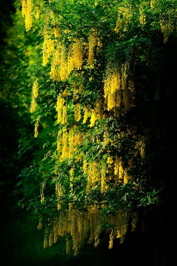 Laburnumboom op Donkere Achtergrond stock foto's