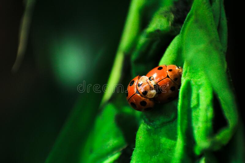 Laby Bugs Mating on Green Surface stock photos