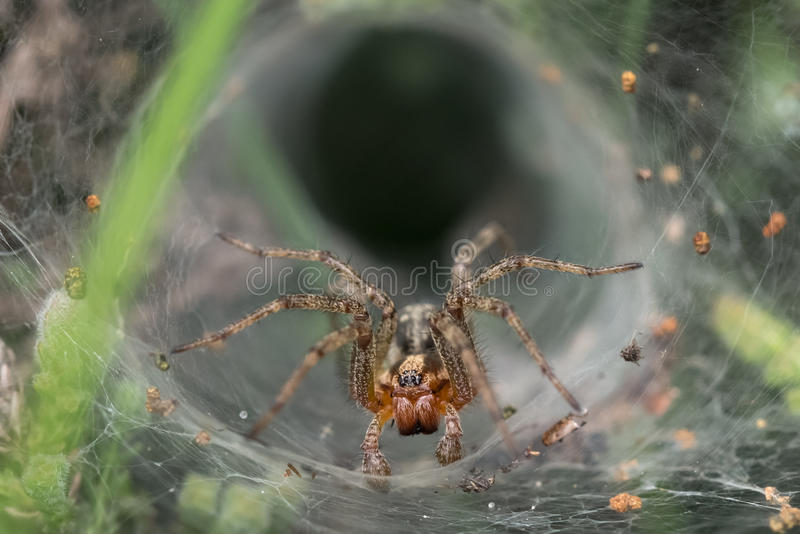 Labyrint eller Tratt-rengöringsduk spindel (den Agelena labyrinthicaen) arkivfoton