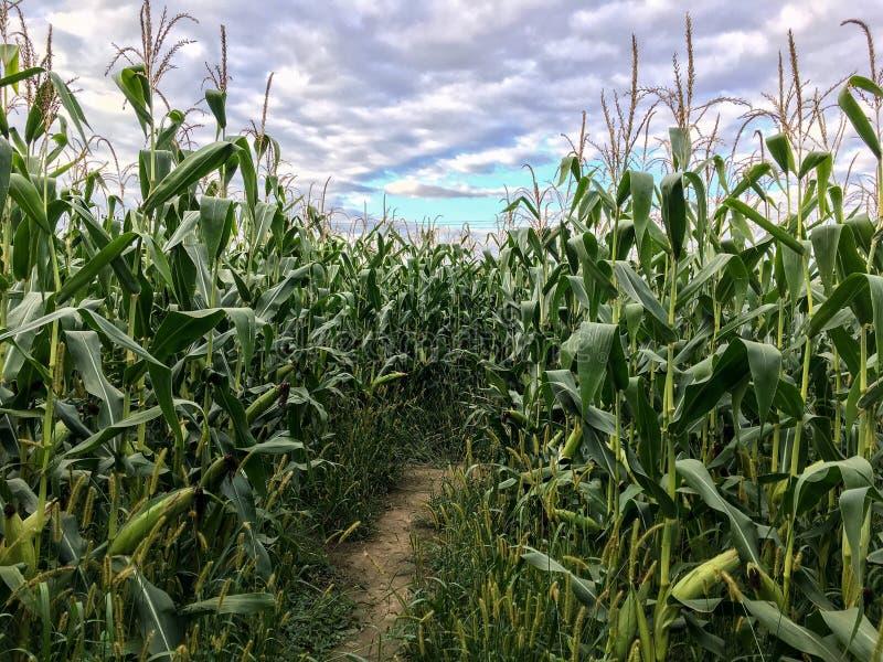 Labyrinthe de maïs images libres de droits