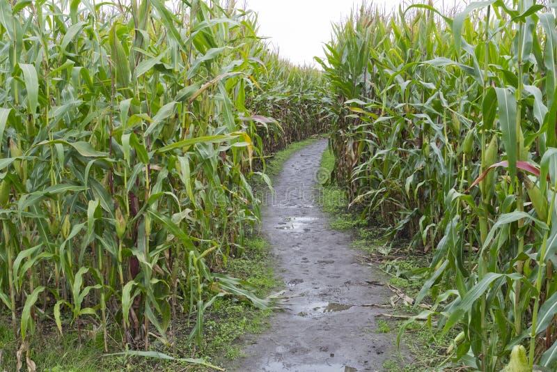 Labyrinthe de maïs photographie stock