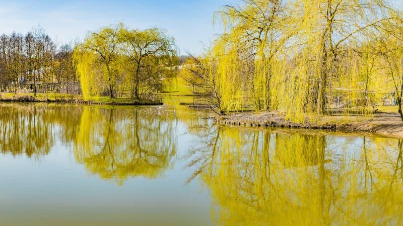 Lac au milieu d'un parc avec la belle r?flexion et entour? en pleurant des saules photo stock