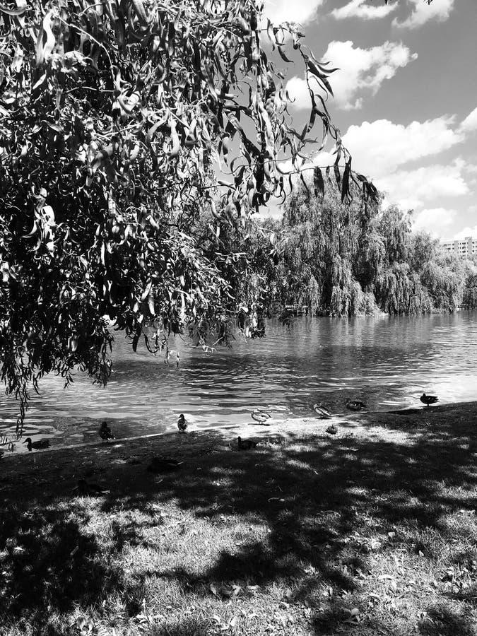 Lac avec des canards et des saules dans arrière et blanc images stock