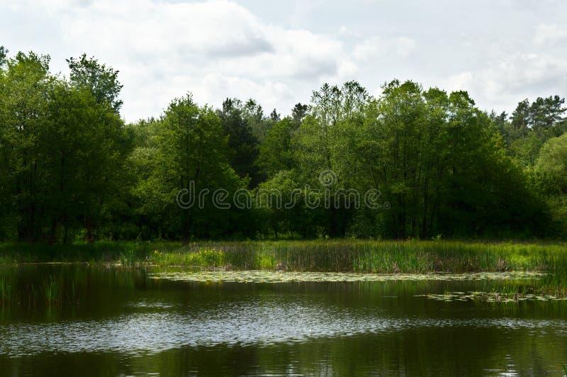 Lac avec des nenuphars et des roseaux dans une forêt, Pologne, l'Europe image libre de droits