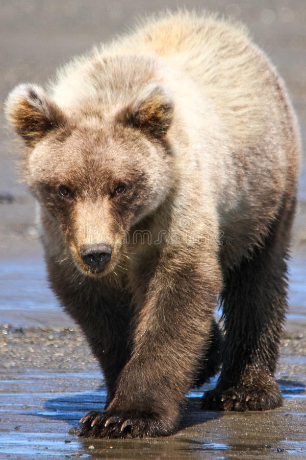 Lac Clark Brown Bear Cub Walking alaska photographie stock