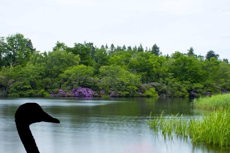 Lac dans vert et pourpre avec la silhouette d'un cygne - Virginia Waters Lake images libres de droits