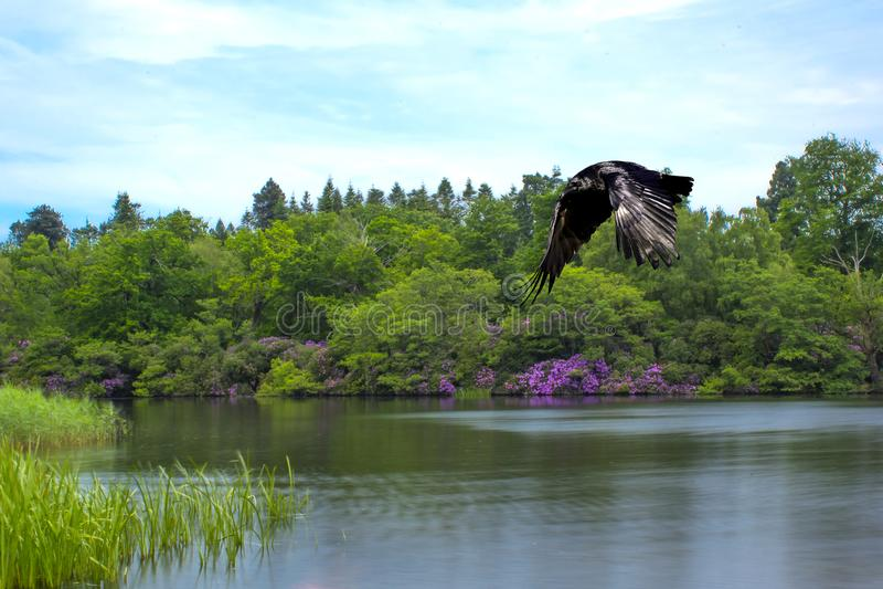 Lac dans vert et pourpre et corbeau sauvage volant - Virginia Waters Lake photo stock