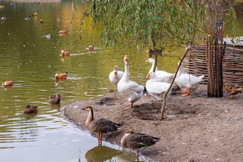 Lac des oiseaux migrateurs images libres de droits