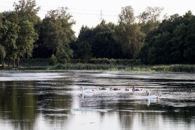 lac du nord l'Europe avec les cygnes sauvages silencieux famille de l'esprit de cygnes photos stock