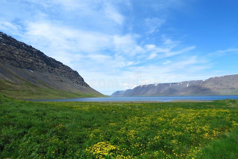 Lac islandais de paysage d'été entouré par des montagnes et des champs avec les fleurs jaunes, Westfjords, Islande photo libre de droits