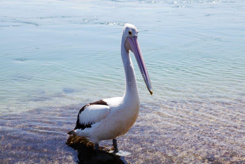 Lac Macquarie, Australie pelican @ photos libres de droits