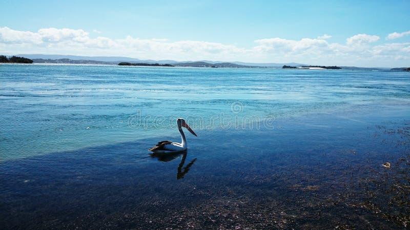 Lac Macquarie pelican @ photo stock