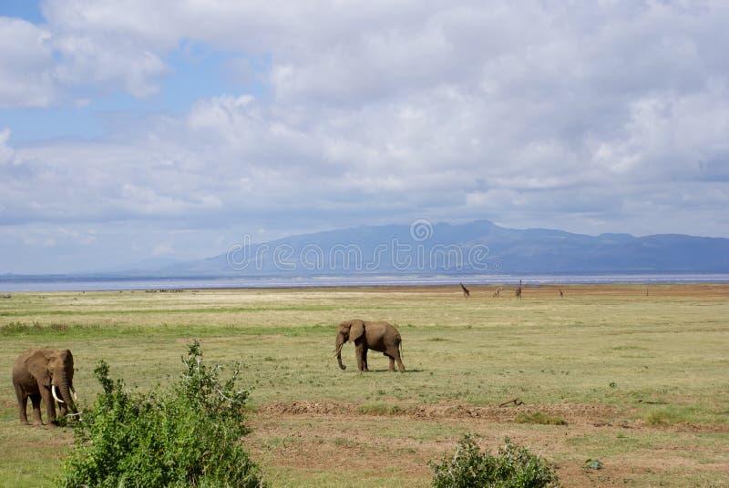 Lac Manyara : éléphants et girafes photo stock