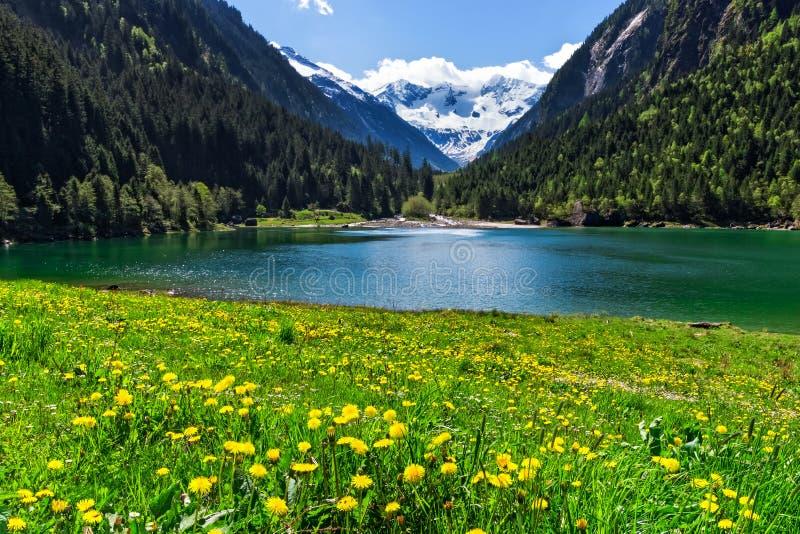 Lac mountain avec les fleurs jaunes lumineuses dans le premier plan Lac Stillup, Autriche, le Tirol image libre de droits