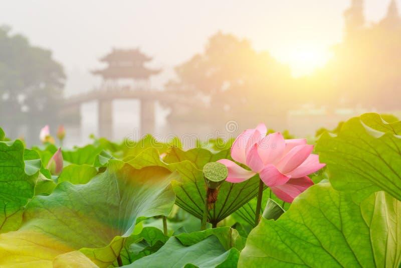 Lac occidental Lotus hangzhou en pleine floraison dans un matin brumeux images libres de droits