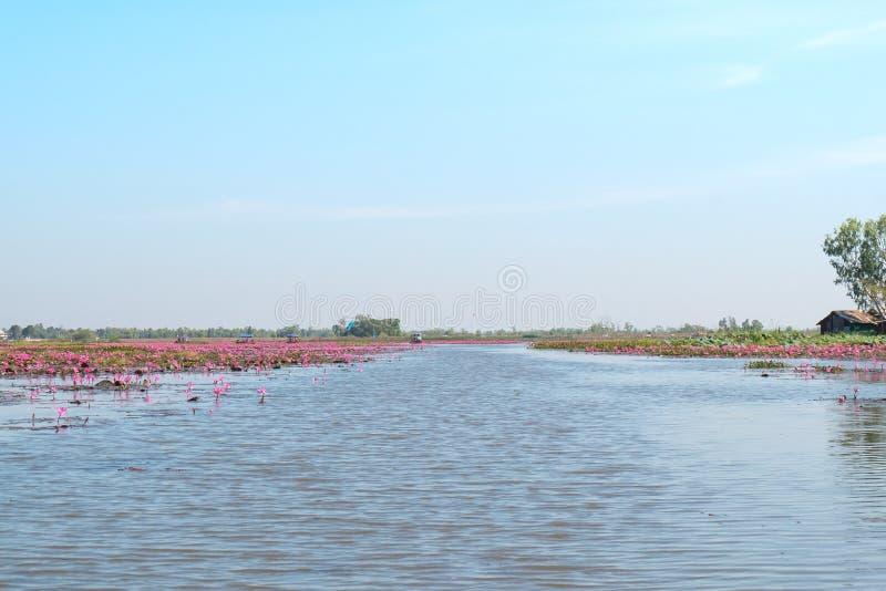Lac rouge de champ de lotus dans l'udonthani de la Thaïlande photos stock