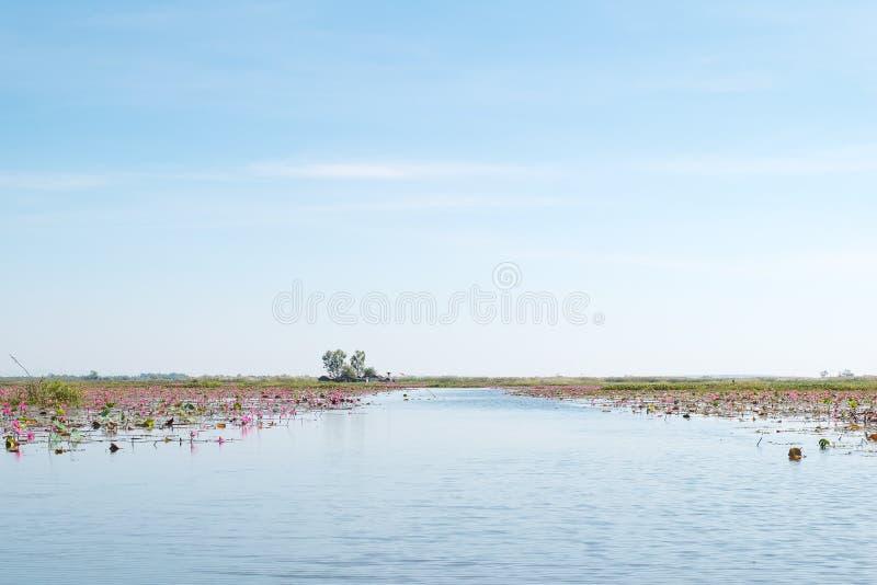 Lac rouge de champ de lotus dans l'udonthani de la Thaïlande images stock