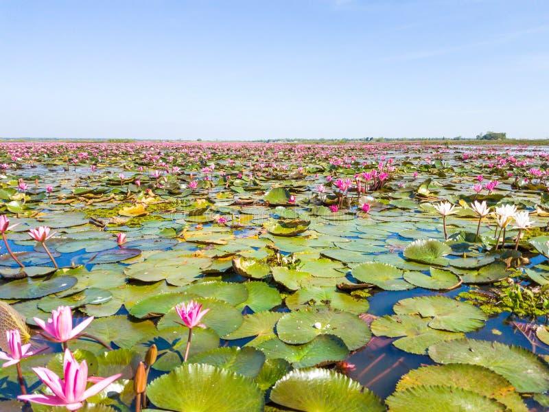 Lac rouge de champ de lotus dans l'udonthani de la Thaïlande photographie stock libre de droits