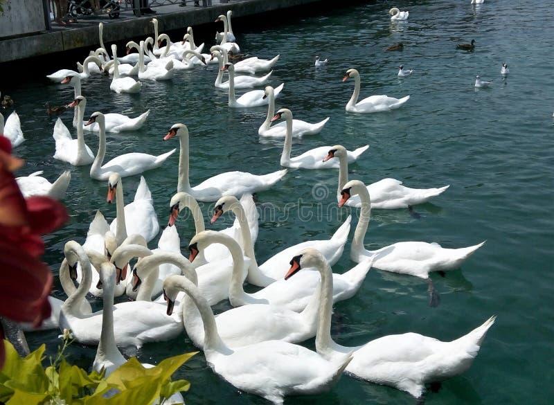 Lac swan à Genève image libre de droits