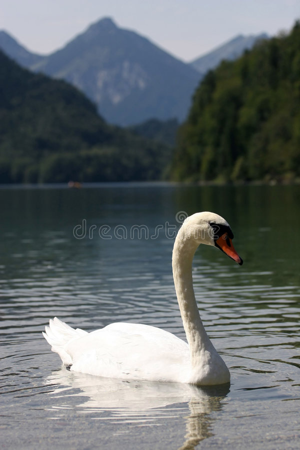 Lac swan photos stock