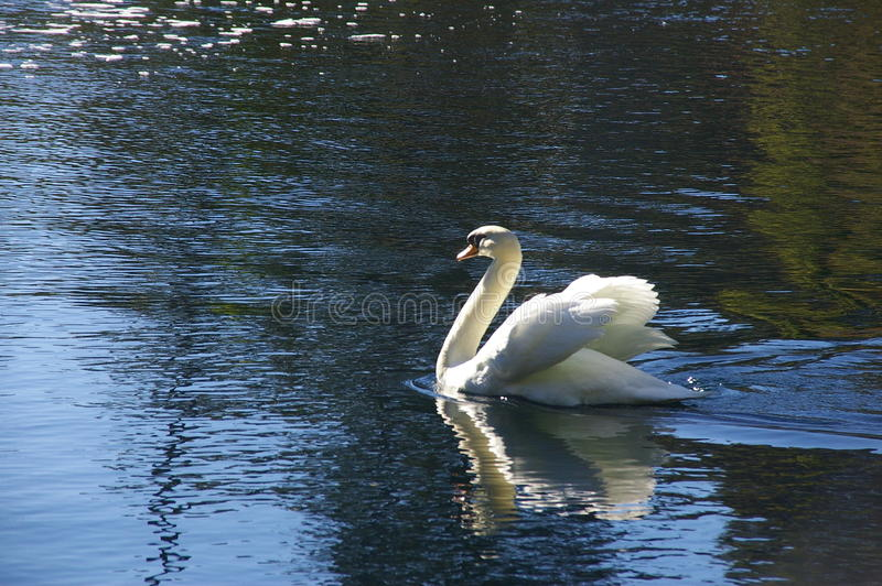 Lac swan image stock