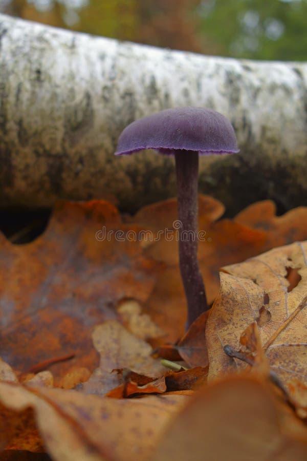 Laccaria amethystina royalty free stock photography