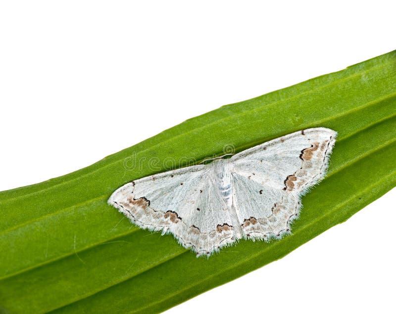 Lace Border Moth -  Scopula Ornata Stock Photo