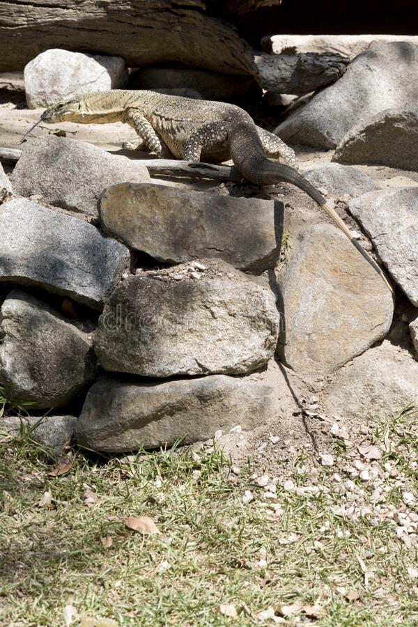 The lace monitor lizard is climbing up the rocks royalty free stock image