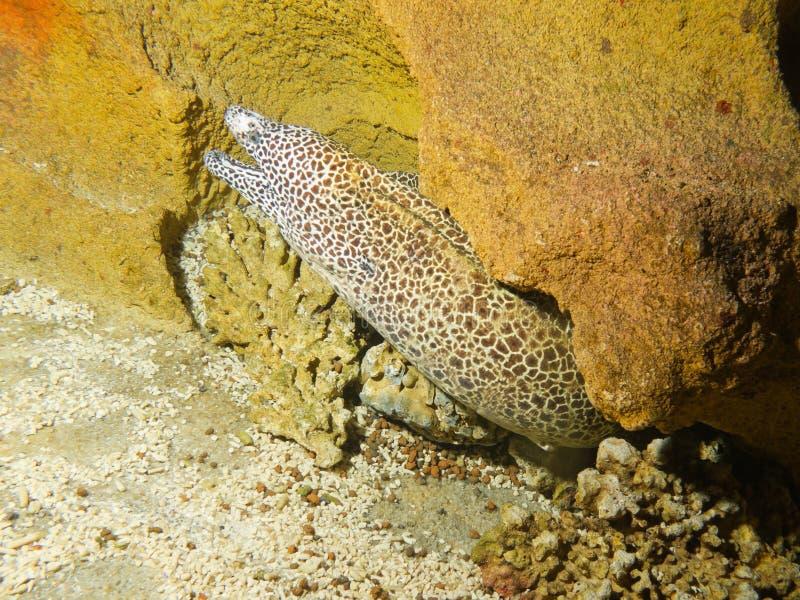 Laced Moray, Honeycomb Moray, Tesselate Moray Stock Image