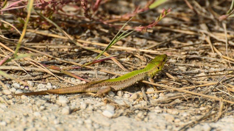 Lacerta agilis, kolorowa jaszczurka męska, beczki na słońcu zdjęcie stock