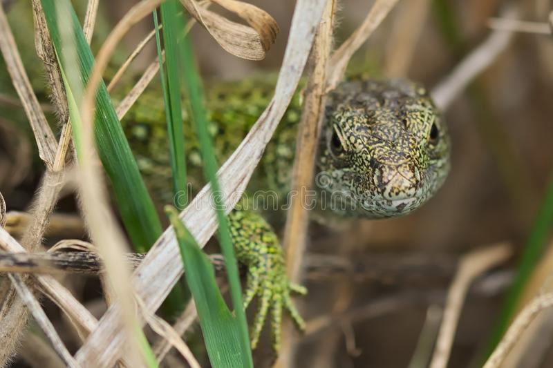 Lacerta agilis, lizard, species of the lizard from the family of appropriate lizards sand lizard. Species of the lizard from the family of appropriate lizards stock photo