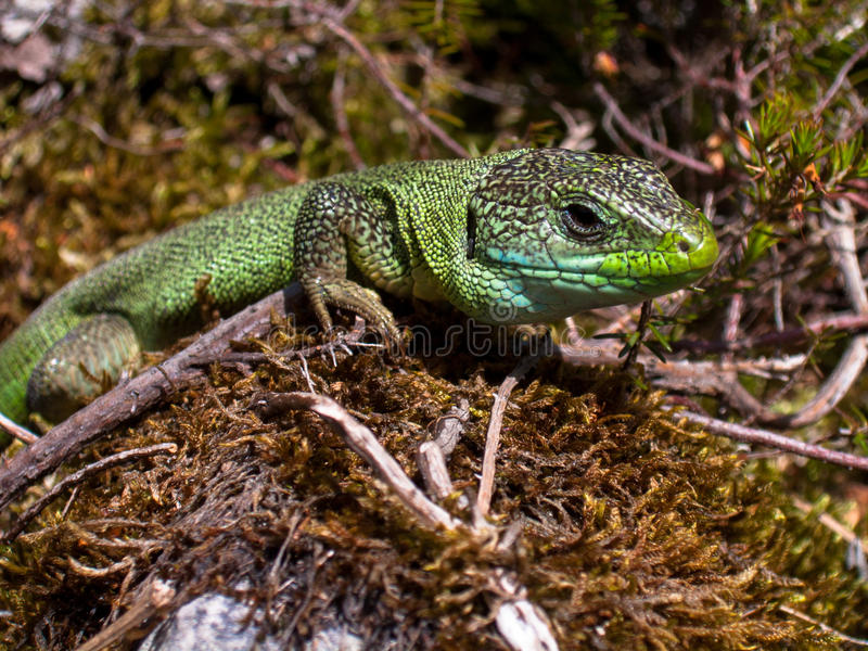 Lacerta viridis auf Moos stockfotos