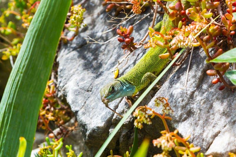 Lacertaviridis, groene hagedis met blauw hoofd stock afbeeldingen