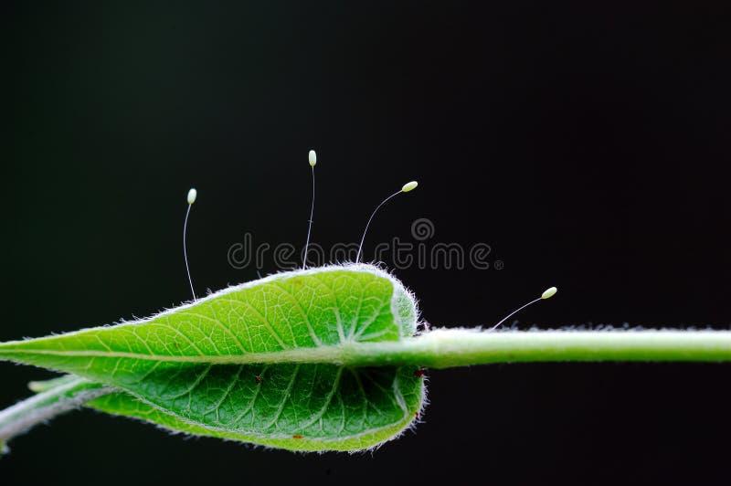 lacewing的幼虫 免版税库存照片