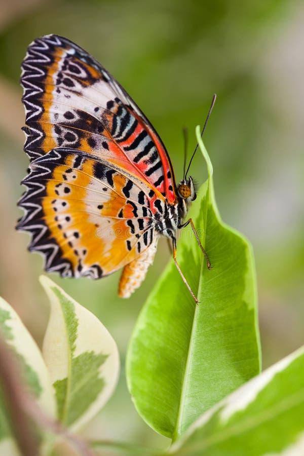 lacewing的蝴蝶 库存照片