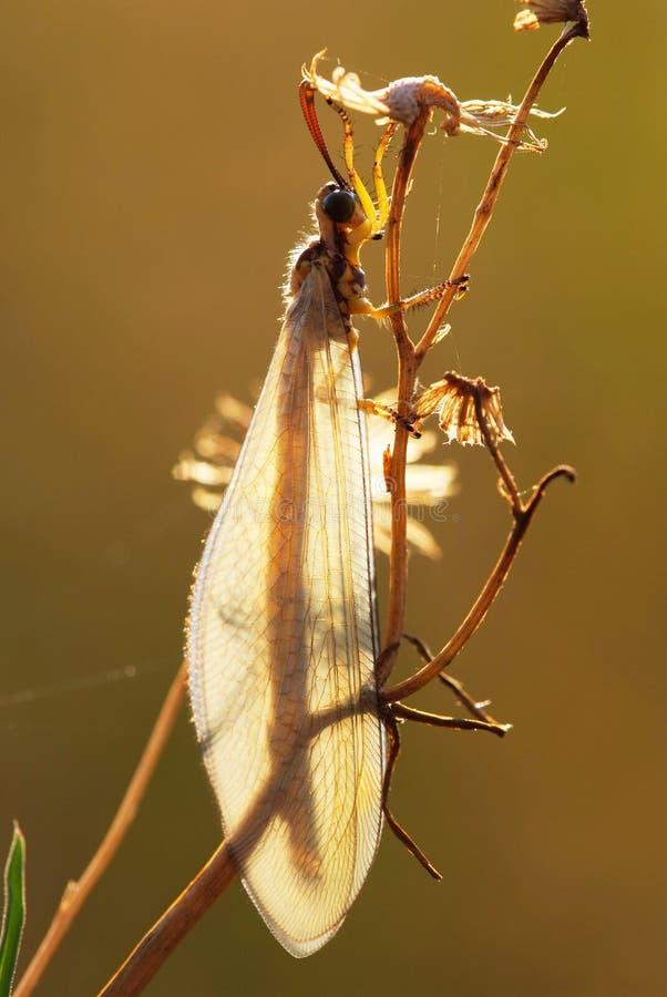 lacewing arkivfoto