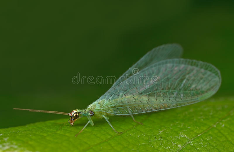 Lacewing fotografia de stock royalty free