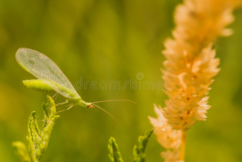 Download Lacewing Bug Macro stock image. Image of environment - 76818411