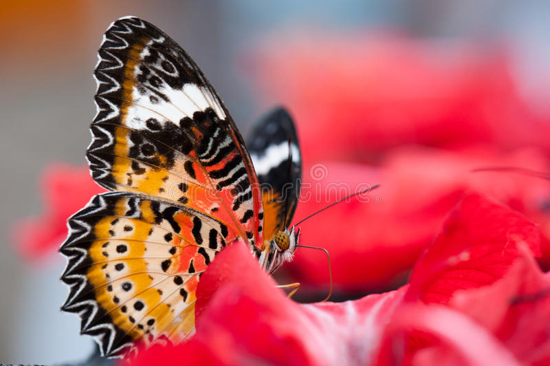 The Lacewing (Cethosia cyane) Butterfly royalty free stock image