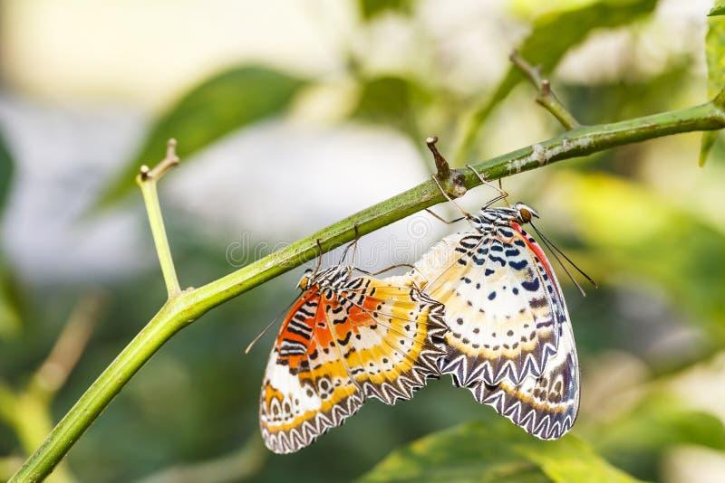 Lacewing de acoplamento do leopardo & x28; Euanthes& x29 do cyane de Cethosia; cair da borboleta imagem de stock royalty free