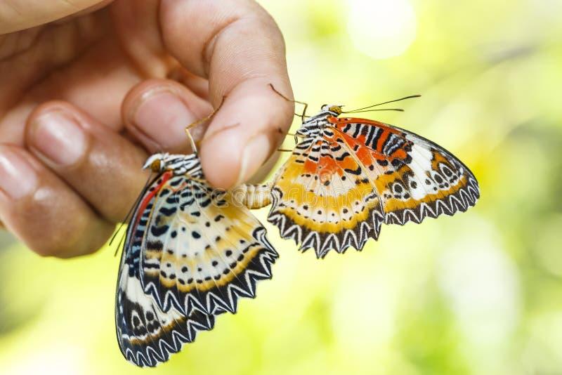 Lacewing de acoplamiento del leopardo y x28; Euanthes& x29 del cyane de Cethosia; caída de la mariposa fotos de archivo libres de regalías