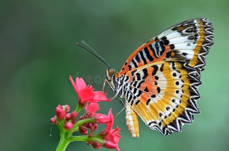 Lacewing do leopardo Butterfly4 fotografia de stock royalty free