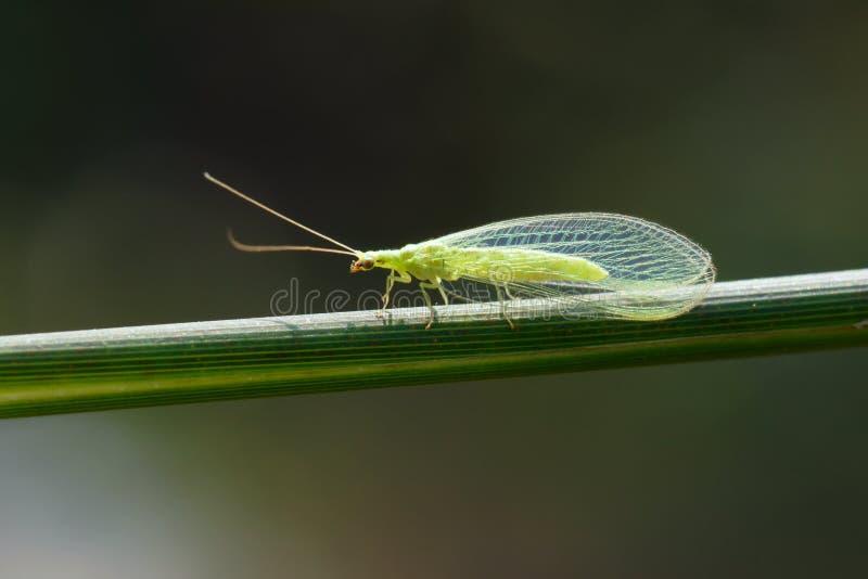 Lacewing komarnica zdjęcia stock