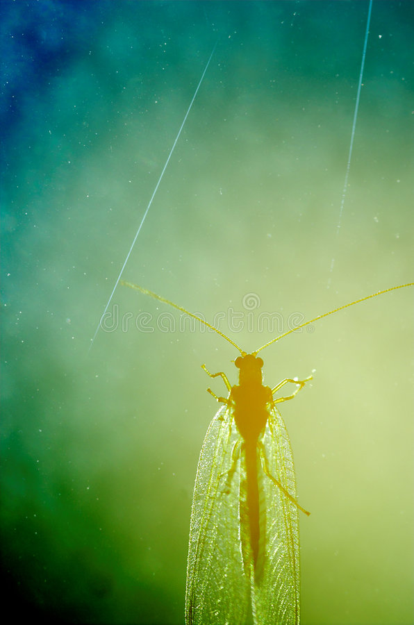 Download Lacewing Nebula Stock Images - Image: 5287244